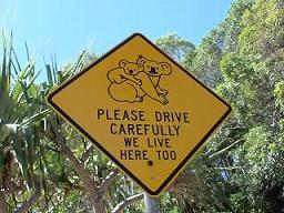 コアラちゃんを轢かないでね