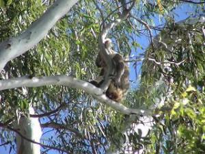 コアラを見つけるには、下に落ちたウン○を先に探します。