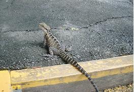 遊歩道のトカゲ~柵の中と外で存在している動物があまり変わってない?