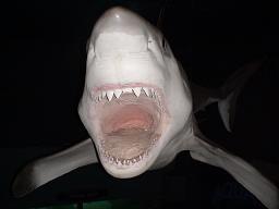 これは作り物。しかし、海で遭遇したら怖いだろうねぇ。そのまま動けないだろうねぇ。サメには死んだふり効かないよねぇ。最近では熊にも効かないらしいねぇ。