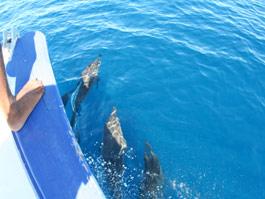 鐘を鳴らしてたら、イルカが集まって船と一緒に泳いでくれました。