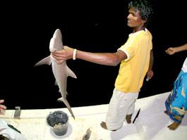 小さいけど、サメも釣れます