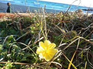 砂浜には素敵な花が咲いてます