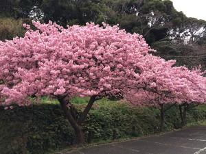 白浜~そりださんの桜満開